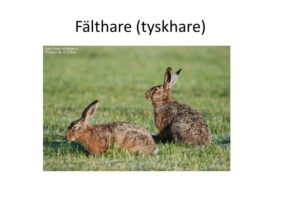 Fälthare (tyskhare)