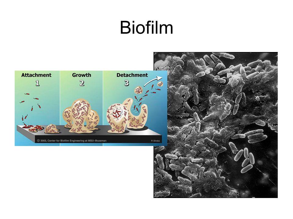 Biofilm Bakterier, EPS, Svampar, Protozoer