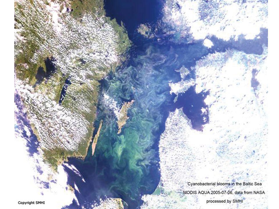 Algblomning Cyanobakterier (blågröna alger) Naturliga på vår o höst men blir kraftigare pga av riklig tillgång på N o P.