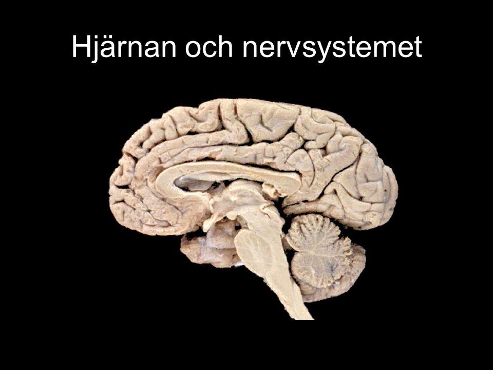 Hjärnan och nervsystemet