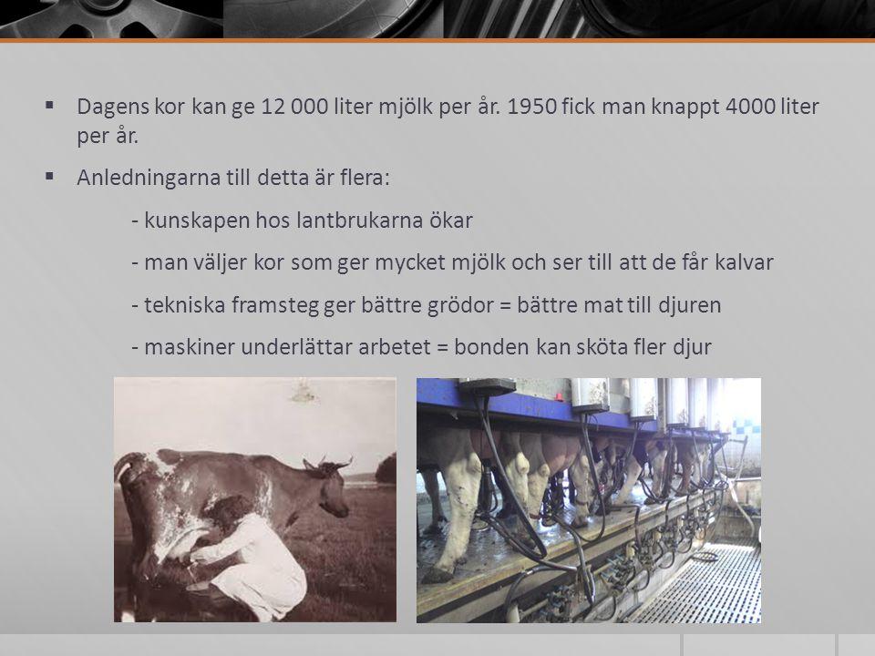 Dagens kor kan ge 12 000 liter mjölk per år