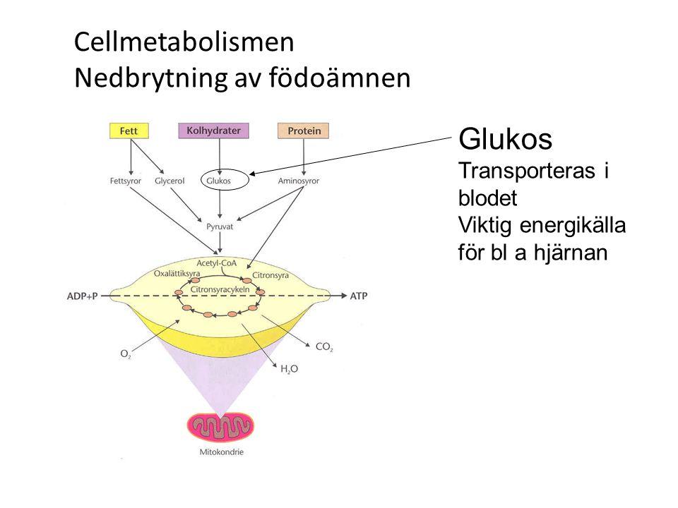 Cellmetabolismen Nedbrytning av födoämnen