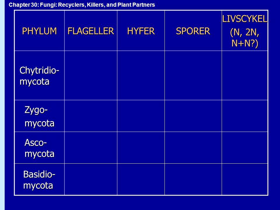 PHYLUM FLAGELLER. HYFER. SPORER. LIVSCYKEL. (N, 2N, N+N ) Chytridio-mycota. Zygo- mycota. Asco-mycota.