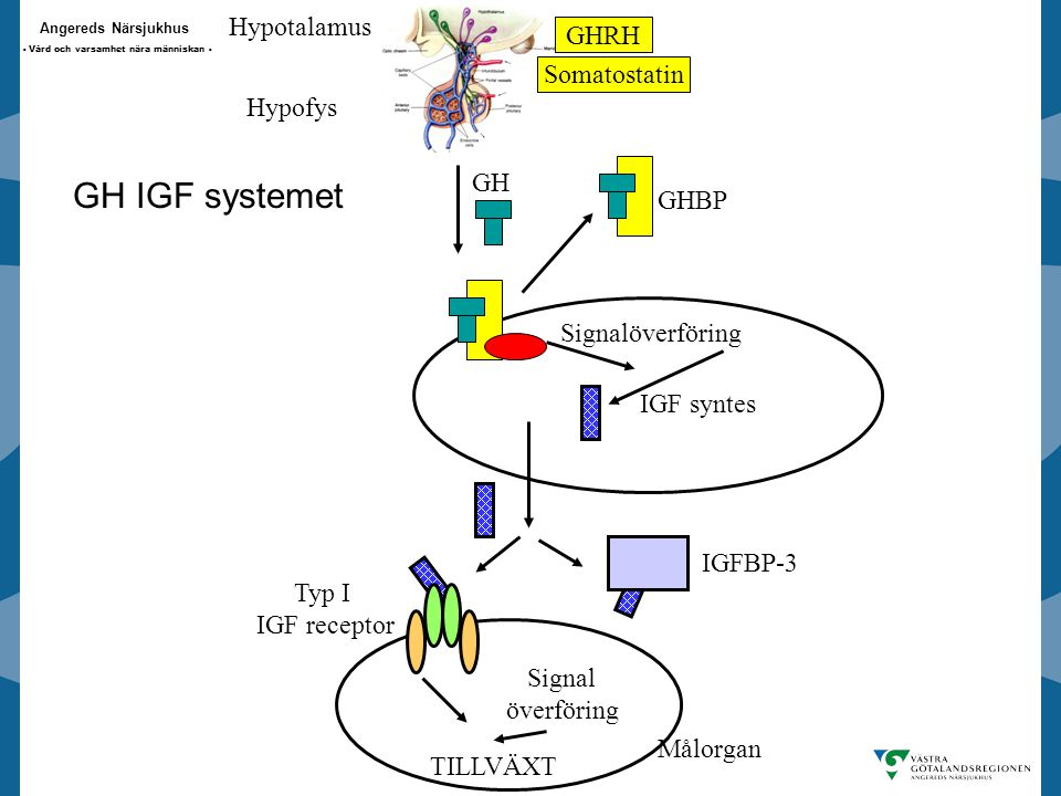 GH IGF systemet Hypotalamus GHRH Somatostatin Hypofys GH GHBP
