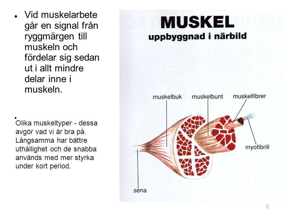Vid muskelarbete går en signal från ryggmärgen till muskeln och fördelar sig sedan ut i allt mindre delar inne i muskeln.