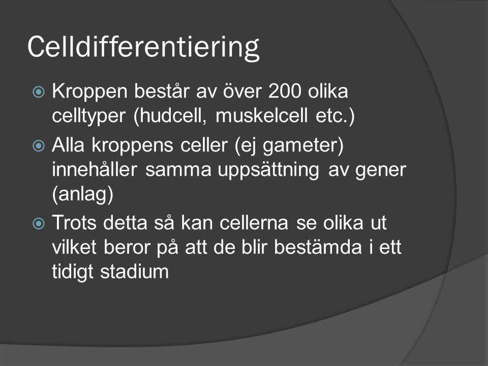 Celldifferentiering Kroppen består av över 200 olika celltyper (hudcell, muskelcell etc.)