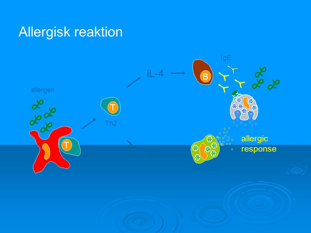 Allergisk reaktion IL-4 IL-5 B T allergic response T IgE allergen Th2