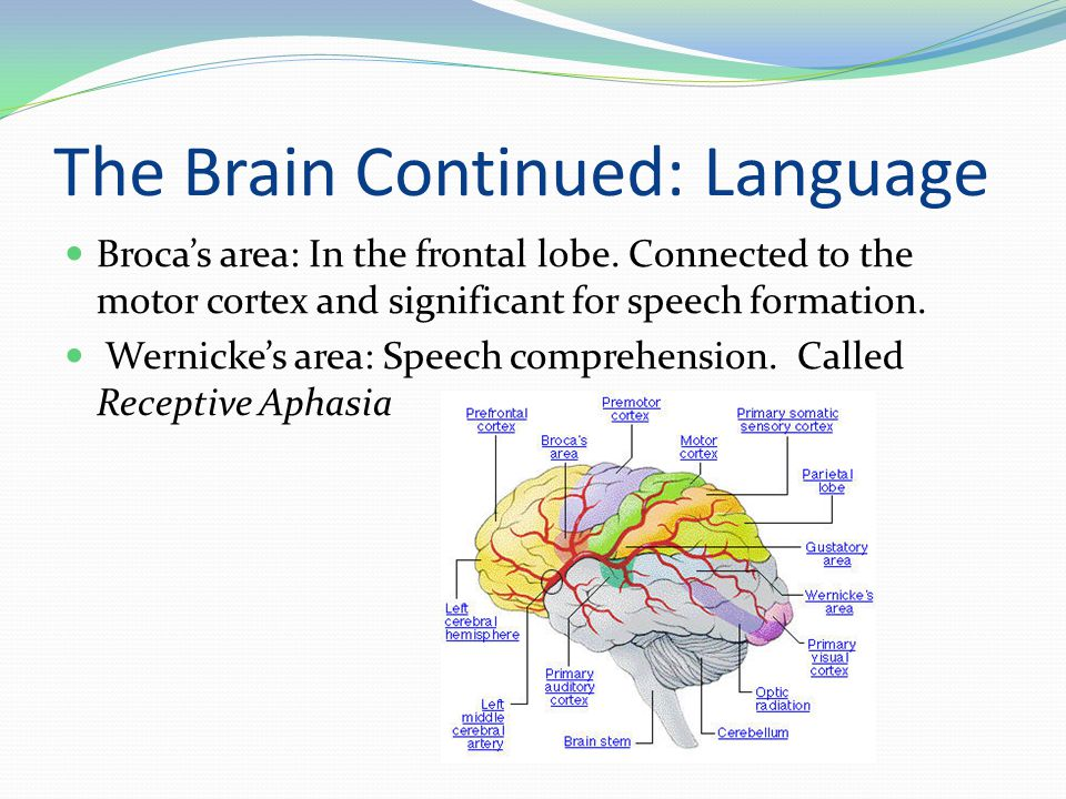 The Brain Continued: Language