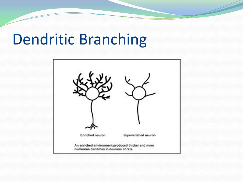 Dendritic Branching
