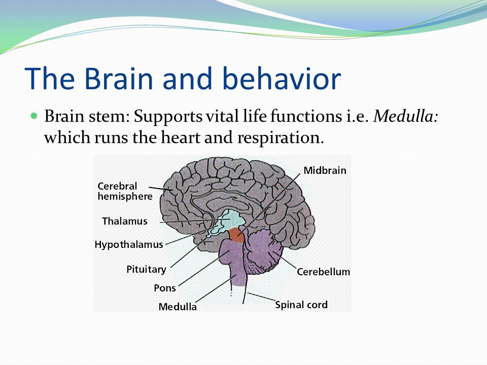 The Brain and behavior Brain stem: Supports vital life functions i.e.