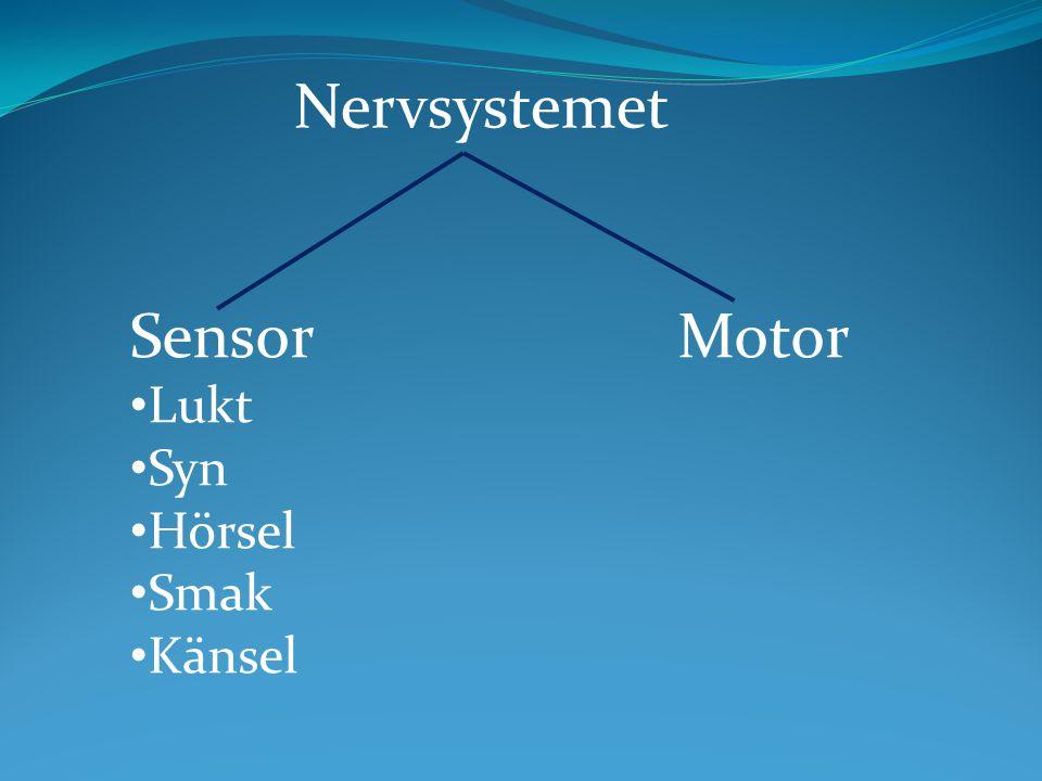 Nervsystemet Sensor Motor Lukt Syn Hörsel Smak Känsel