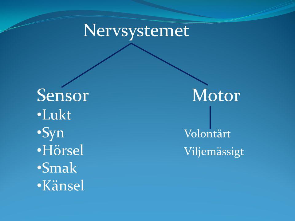 Nervsystemet Sensor Motor Lukt Syn Volontärt Hörsel Viljemässigt Smak