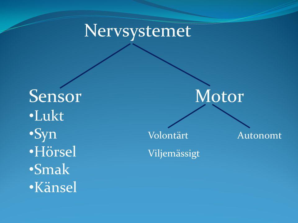 Nervsystemet Sensor Motor Lukt Syn Volontärt Autonomt