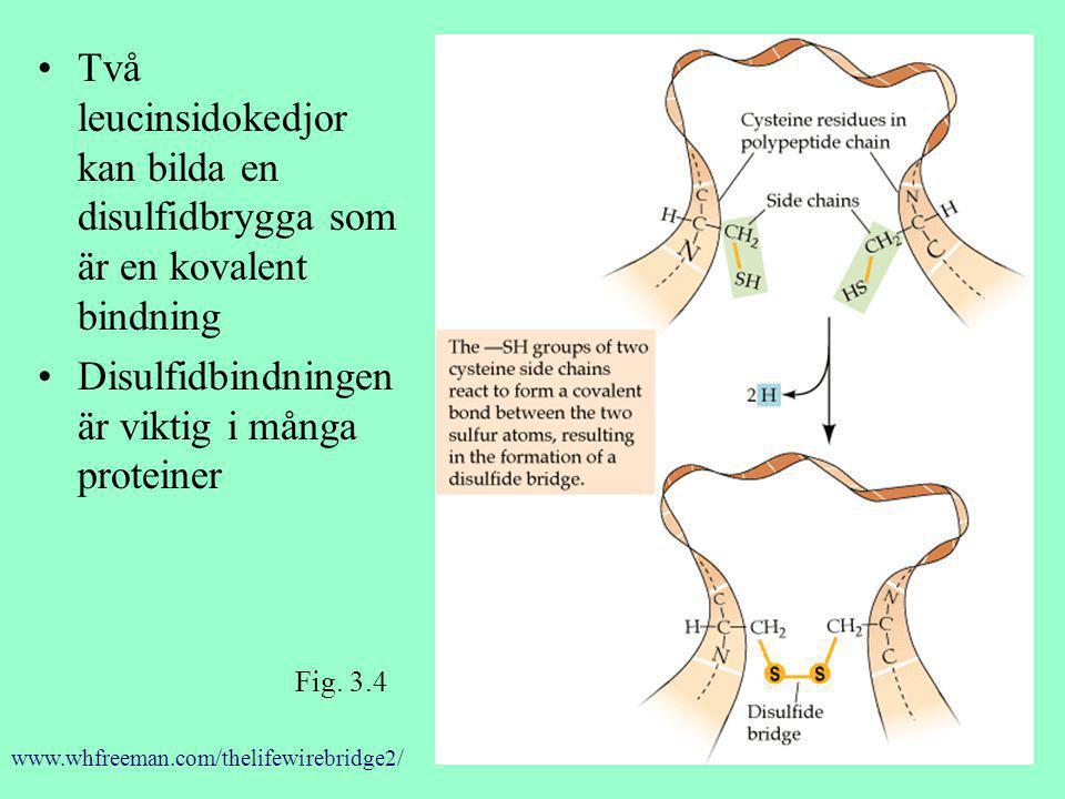 Disulfidbindningen är viktig i många proteiner