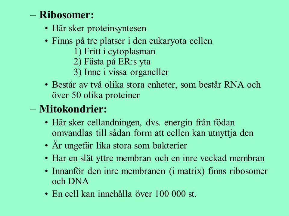 Ribosomer: Mitokondrier: Här sker proteinsyntesen