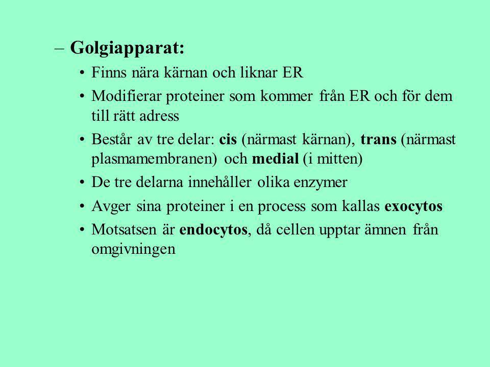 Golgiapparat: Finns nära kärnan och liknar ER