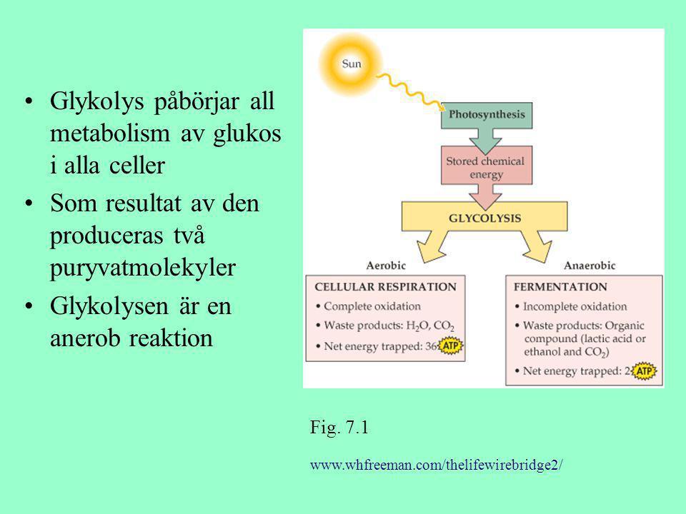 Glykolys påbörjar all metabolism av glukos i alla celler