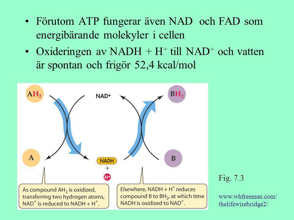 Förutom ATP fungerar även NAD och FAD som energibärande molekyler i cellen