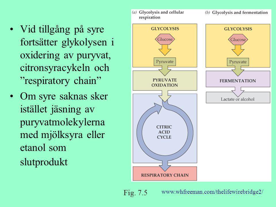 Vid tillgång på syre fortsätter glykolysen i oxidering av puryvat, citronsyracykeln och respiratory chain