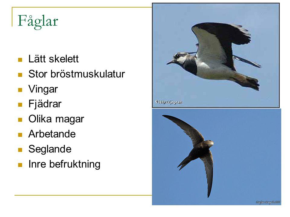 Fåglar Lätt skelett Stor bröstmuskulatur Vingar Fjädrar Olika magar