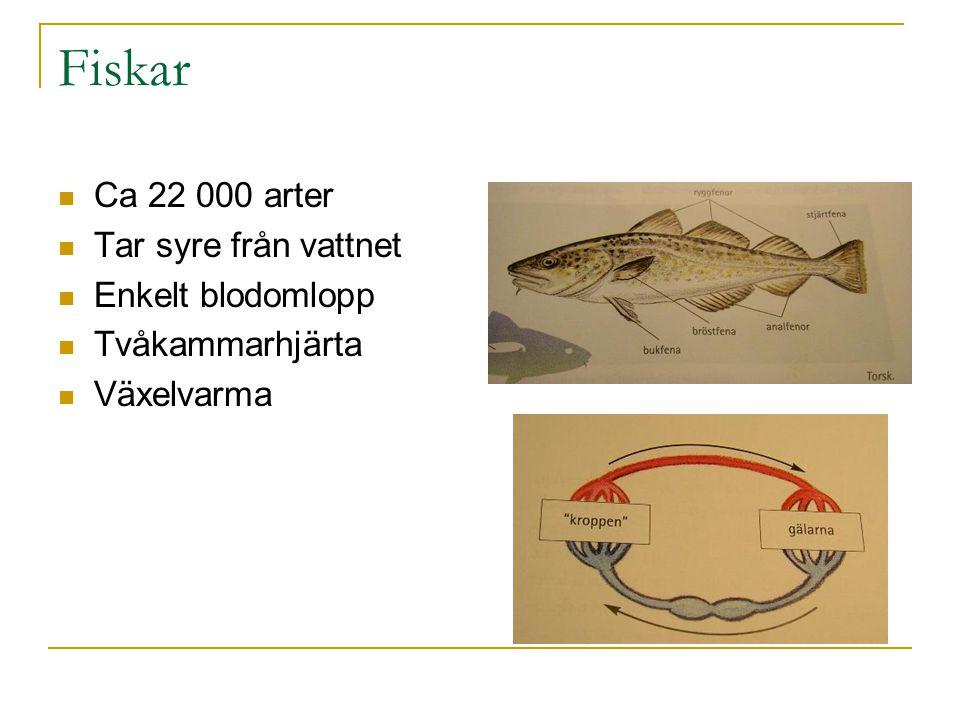 Fiskar Ca 22 000 arter Tar syre från vattnet Enkelt blodomlopp