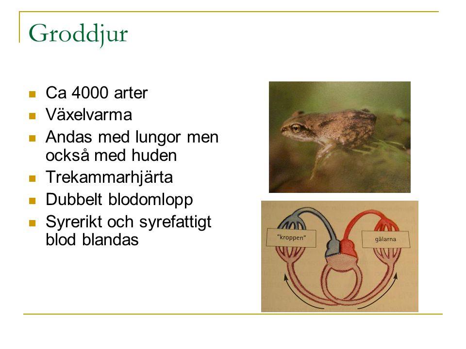 Groddjur Ca 4000 arter Växelvarma Andas med lungor men också med huden