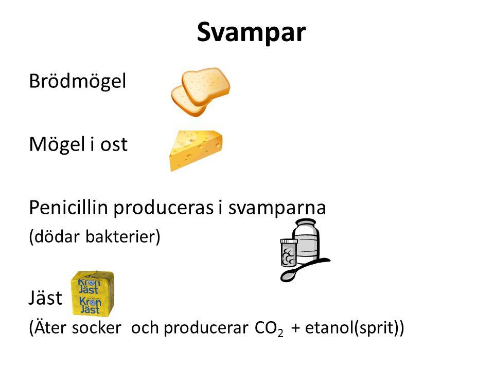 Svampar Brödmögel Mögel i ost Penicillin produceras i svamparna Jäst