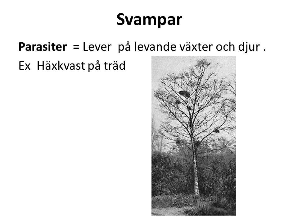 Svampar Parasiter = Lever på levande växter och djur . Ex Häxkvast på träd