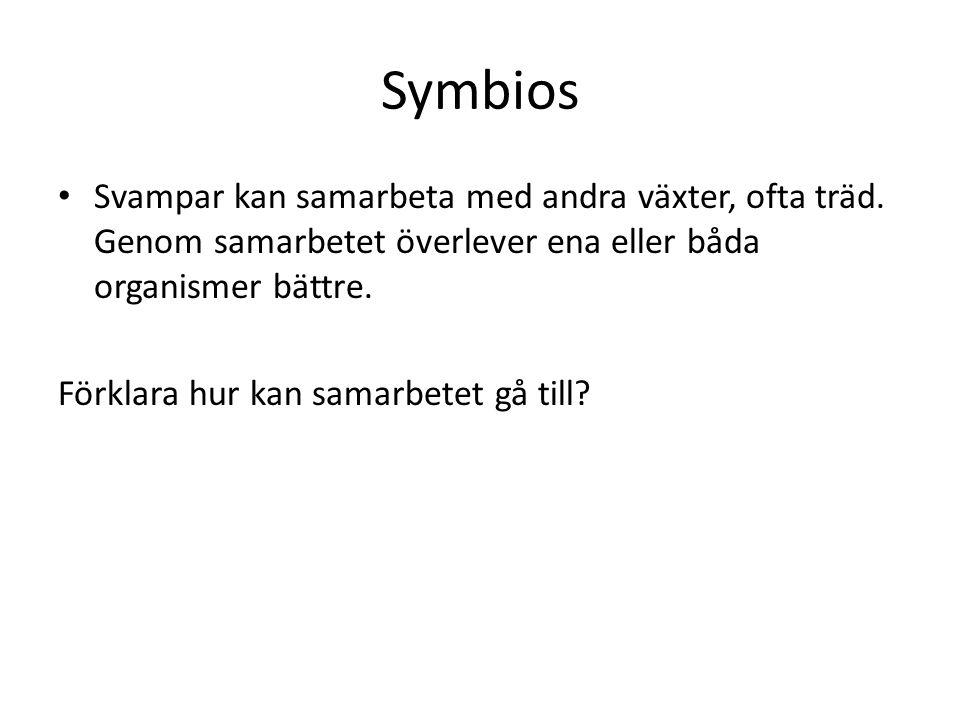 Symbios Svampar kan samarbeta med andra växter, ofta träd. Genom samarbetet överlever ena eller båda organismer bättre.