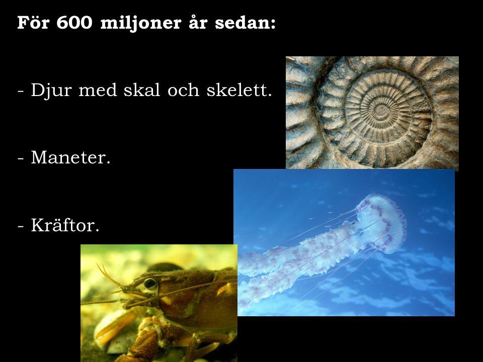 För 600 miljoner år sedan: Djur med skal och skelett. Maneter. - Kräftor.