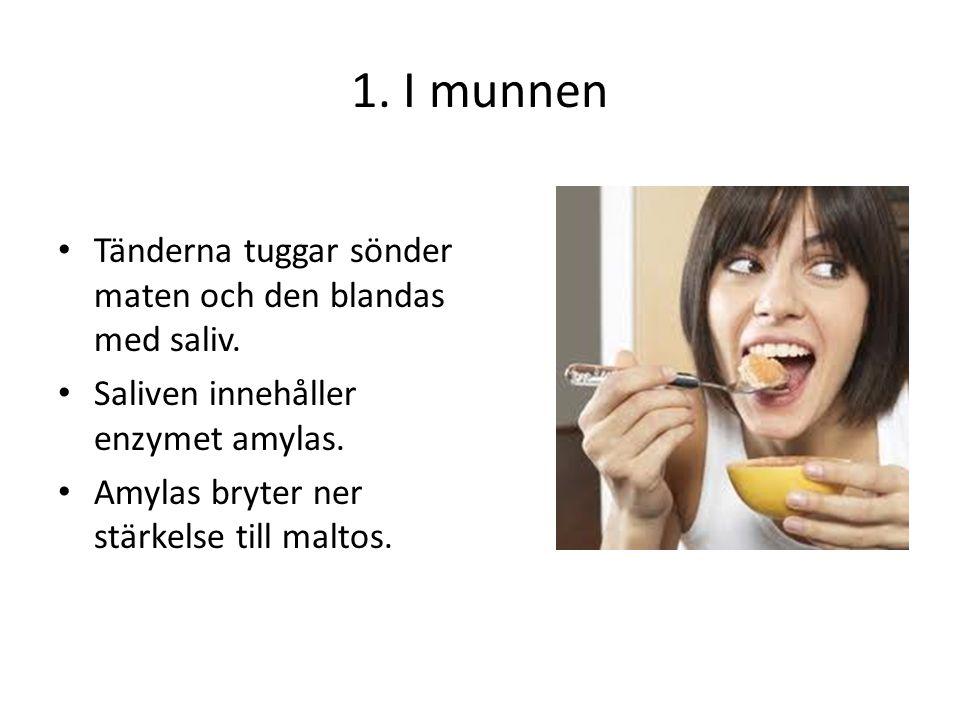 1. I munnen Tänderna tuggar sönder maten och den blandas med saliv.
