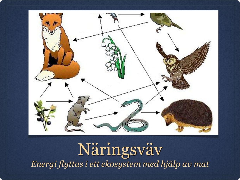 Energi flyttas i ett ekosystem med hjälp av mat