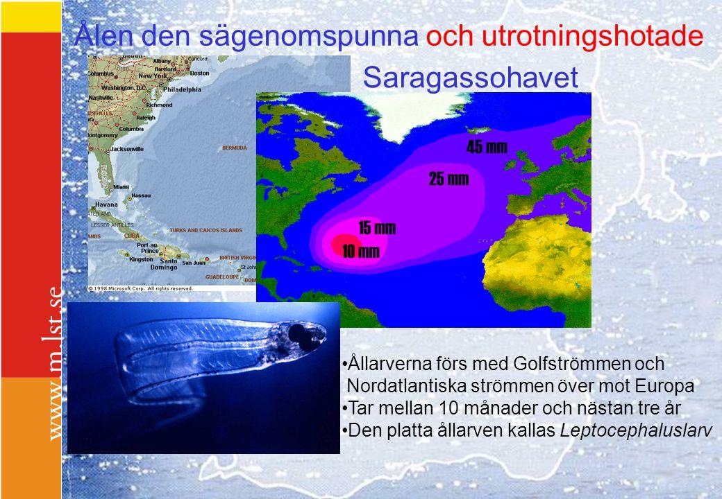 Ålen den sägenomspunna och utrotningshotade Saragassohavet