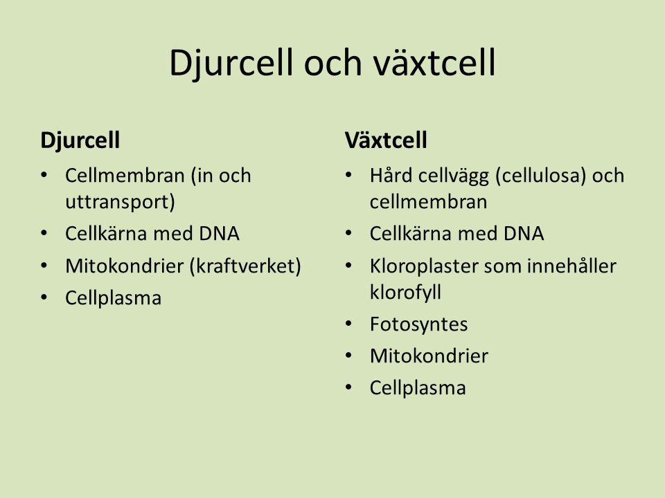 Djurcell och växtcell Djurcell Växtcell