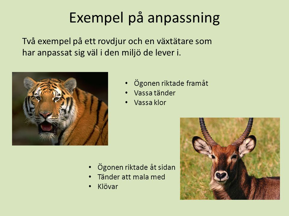 Exempel på anpassning Två exempel på ett rovdjur och en växtätare som har anpassat sig väl i den miljö de lever i.