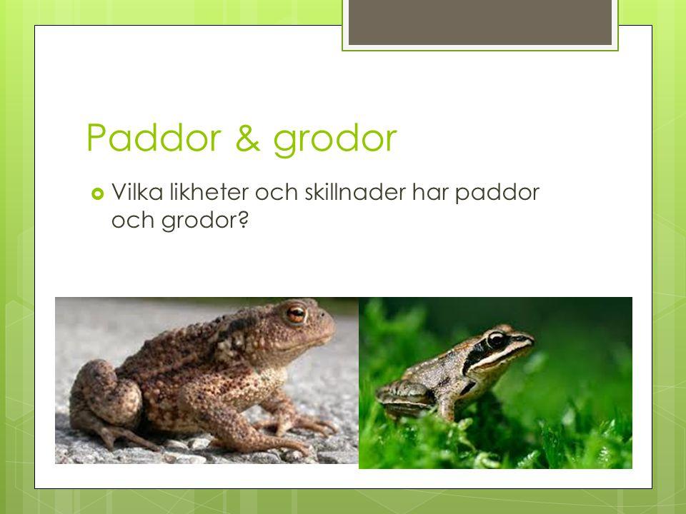 Paddor & grodor Vilka likheter och skillnader har paddor och grodor