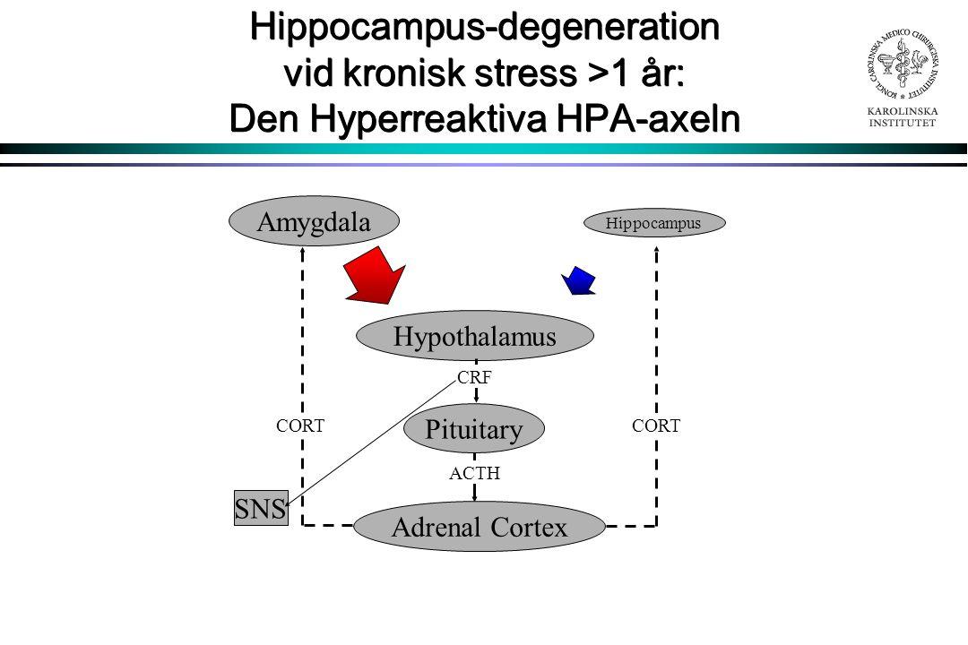 Hippocampus-degeneration vid kronisk stress >1 år: Den Hyperreaktiva HPA-axeln