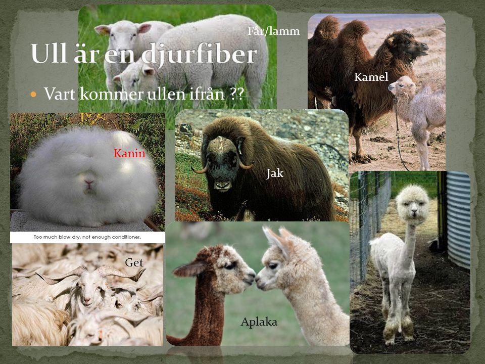 Ull är en djurfiber Vart kommer ullen ifrån Får/lamm Kamel Kanin