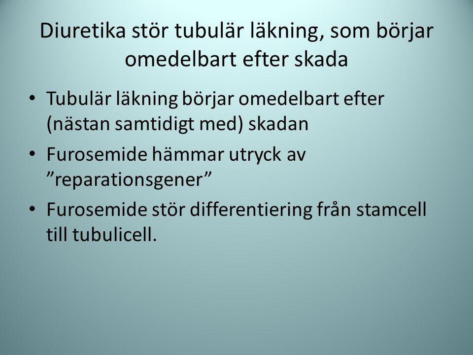 Diuretika stör tubulär läkning, som börjar omedelbart efter skada