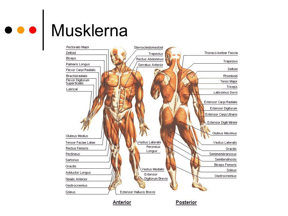 Musklerna