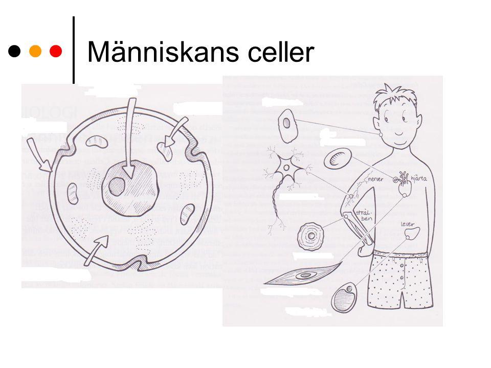 Människans celler