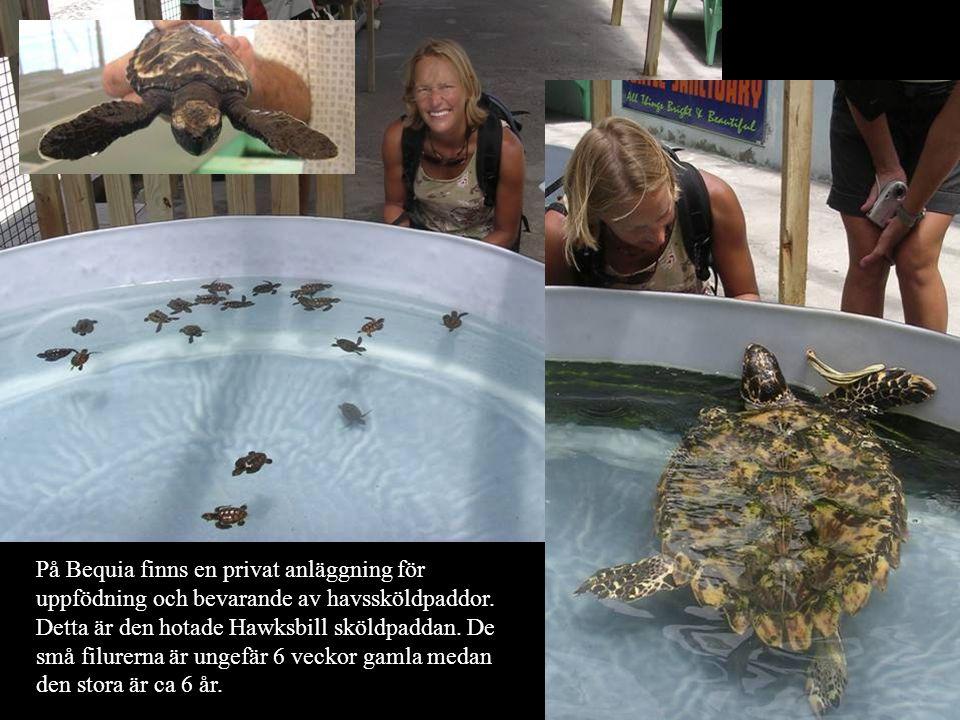 På Bequia finns en privat anläggning för uppfödning och bevarande av havssköldpaddor.
