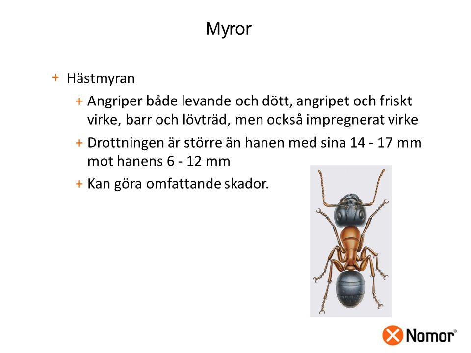 Myror Hästmyran. Angriper både levande och dött, angripet och friskt virke, barr och lövträd, men också impregnerat virke.