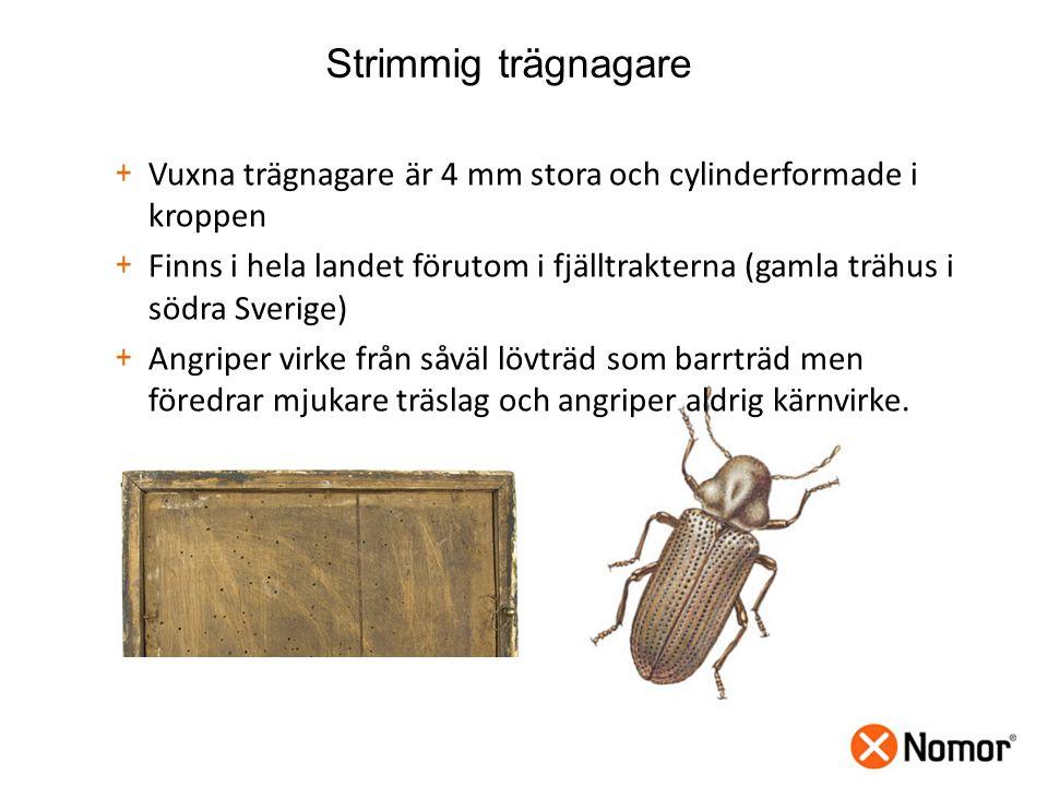 Strimmig trägnagare Vuxna trägnagare är 4 mm stora och cylinderformade i kroppen.