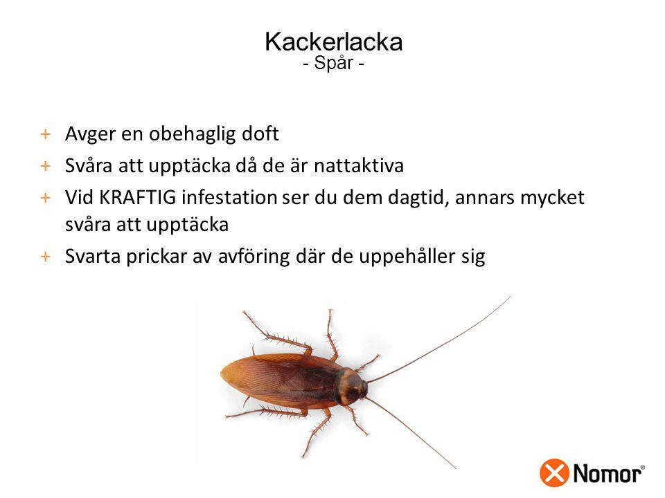 Kackerlacka - Spår - Avger en obehaglig doft