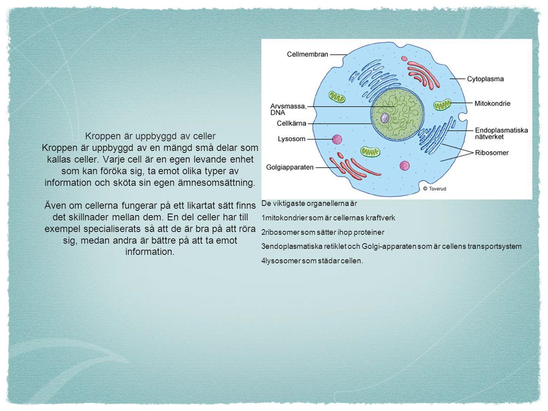 Kroppen är uppbyggd av celler Kroppen är uppbyggd av en mängd små delar som kallas celler. Varje cell är en egen levande enhet som kan föröka sig, ta emot olika typer av information och sköta sin egen ämnesomsättning. Även om cellerna fungerar på ett likartat sätt finns det skillnader mellan dem. En del celler har till exempel specialiserats så att de är bra på att röra sig, medan andra är bättre på att ta emot information.
