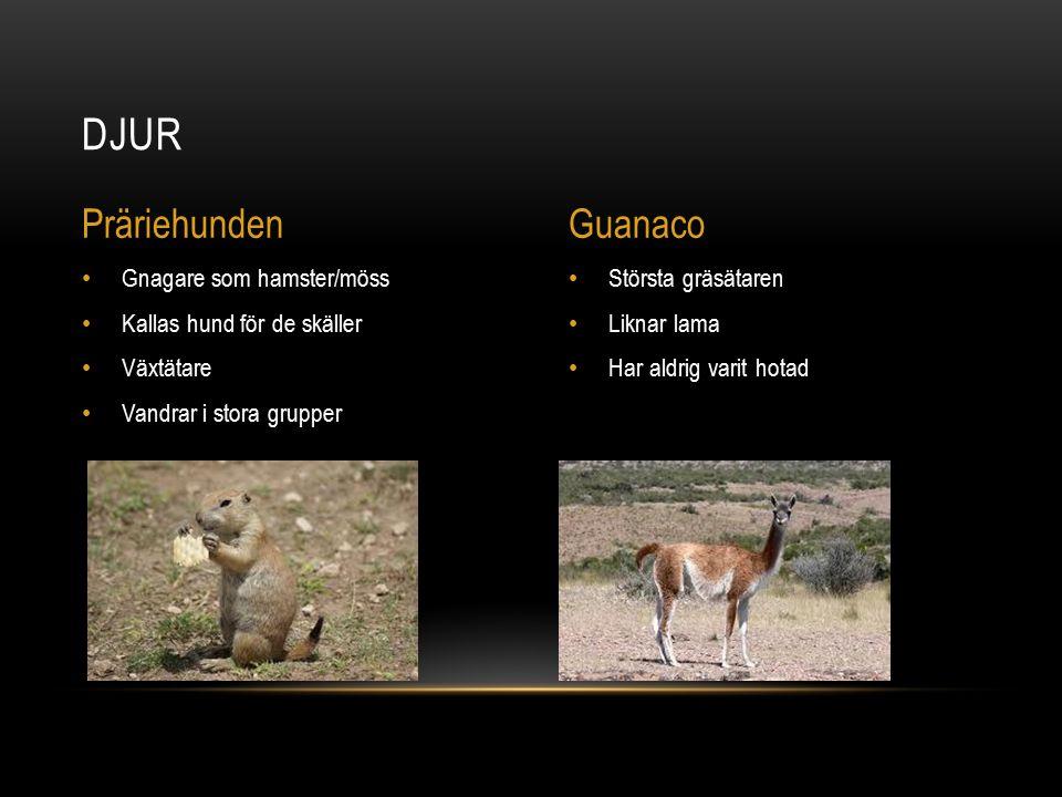 Djur Präriehunden Guanaco Gnagare som hamster/möss