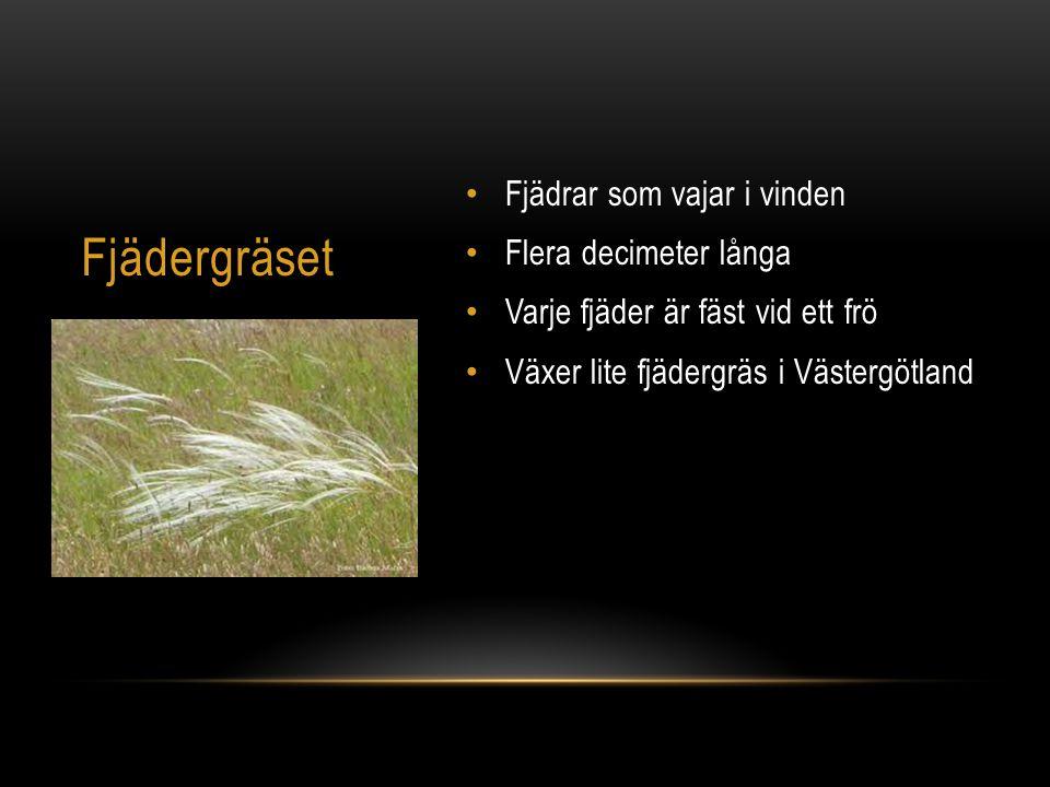Fjädergräset Fjädrar som vajar i vinden Flera decimeter långa