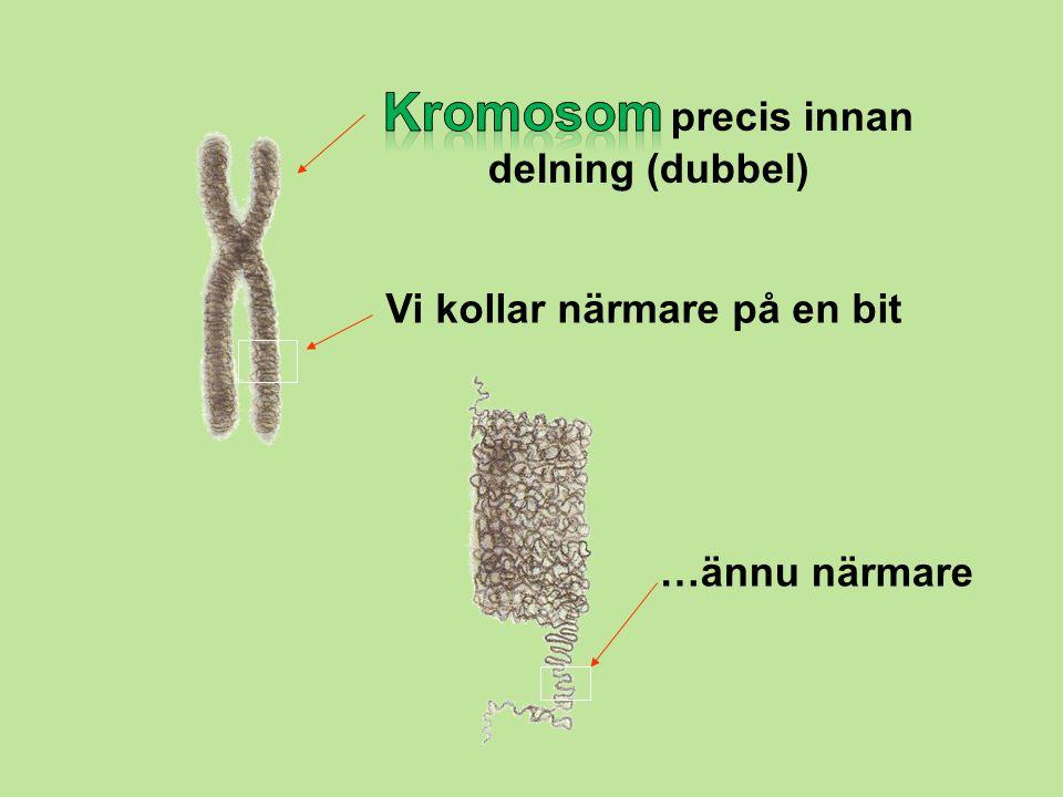 Kromosom precis innan delning (dubbel)