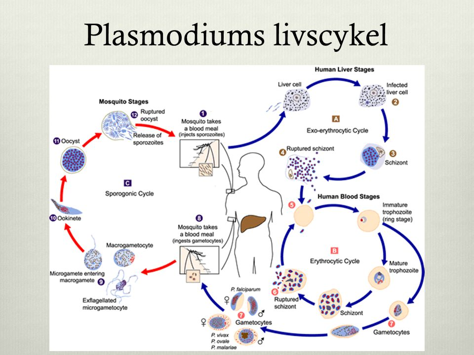 Plasmodiums livscykel